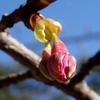 河津桜の蕾と・・・ 2014 2月