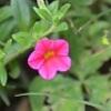 今朝のピンクの花々