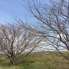 桜とレブルの写真が撮りたい!