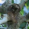 イチジクの樹とキボシカミキリ
