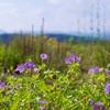 ゲラニウム・ブルーサンライズ(Geranium hybride 'Blue Sunrise')