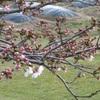 我家の桜も満開