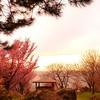 【桜】夕暮れの日本海沿岸に咲く桜。北海道増毛町