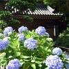 竹林だけじゃない、報国寺のあじさいと苔庭。人気寺は朝がおすすめ