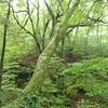 ミヤマムギラン 静かな森の一日