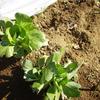 ちんげん菜の収穫と堆肥の篩い分け
