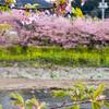 河津桜の本場、河津町を観光してきました