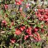 「佐久の季節便り」、「ひろば・賢治ガーデン」、「ボケ(木瓜)」が咲いて、春爛漫に…。