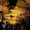 札幌市 北大金葉祭 20181028 / 1週間で紅葉がすすんだ