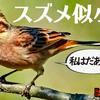 1105【スズメに似た鳥はホオジロ?カシラダカ?オオジュリン?】脚ケガ悲劇のハクセキレイの捕食、真夜中のゴイサギ、アオジや白いムクドリ、カワセミ【 #今日撮り野鳥動画まとめ 】 #身近な生き物語
