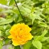 近所の裏山散歩〜道灌と山吹の花〜