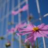 さらにX100Vで花のピンクと青空で比較