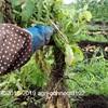 ジャガイモを収穫しました(メークイン、だんしゃく)