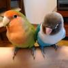 鳥さん、インコと新生児の部屋は分けるべき?