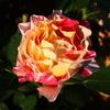 今年は、バラ栽培でコガネムシの幼虫の被害がすごいことになると思います。