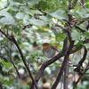 コマドリ・ジョウビタキ・シロハラ・オオバン・キンクロハジロ(大阪城野鳥探鳥 20201018 5:45-13:30)