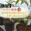 【検証】 トマトの植え替え~やり方は?深さの違いで生育に差は出るのか??~ベジヲタ畑 Day36