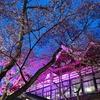 長野・高遠城址の桜🌸