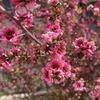 花期が長く、冬の花壇を賑わす! 3年目のギョリュウバイ