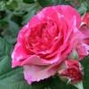2015【無農薬でバラ栽培】マダム・ドゥ・スタール