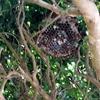 袋井市で垣根の中に巣を作ったアシナガバチを駆除してきました!