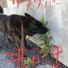 甲斐犬サンの日常の巻〜毎日楽シイョ( ๑॔˃̶◡˂̶๑॓)◞♡