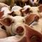 豚コレラやアフリカ豚コレラは、なぜ「ぶたこれら」ではなく「とんこれら」なのか?
