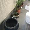 睡蓮鉢を日当たりの良い所に動かしました(腰をやりました)