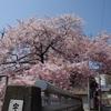 もりもりもーりー宇治川の桜 散る散るとかいってるけど 神戸で最後まで生き残る桜は ここ宇治川の桜だ門外説を唱えるけど いいよね