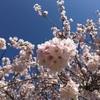 桜のワンピース