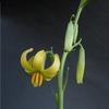 Lilium callosum var. flaviflorum