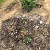初心者の家庭菜園 ナスの花が落ちた!