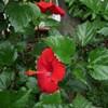 ハイビスカスの花の記録