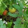 7月の野菜 ダイソーのミニトマト収穫開始
