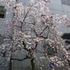 お彼岸なのに桜咲く