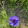 4月〜5月の散歩で出会う青や紫色の花。