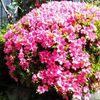 花が終わったサツキの玉仕立て剪定と春芽が伸びた松のみどり摘み
