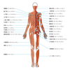 ~人物~ 人体の構造 基本的な筋肉 背面