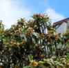 夏至の空にビワの実が映えています 夏至初候「乃東枯(なつかれくさかるる)」(6/21~6/25頃)
