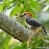 ベリーズ 川岸の Golden-fronted Woodpecker (ゴールデンフロンテッド ウッドペッカー)の巣