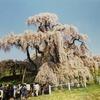2002年4月13日の福島三春滝桜。スマホのフォトスキャンアプリでL判プリント写真をデジタル化。