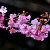 河津桜🌸と蝋梅🌸と鳥さん