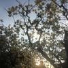 【浄春寺】木蓮 モクレン の花【天王寺七坂・口縄坂 織田作之助 文学碑】