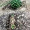 初心者の家庭菜園 ナスの成長は追肥と水が重要