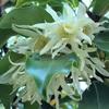 シキミ(樒)の花