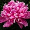 ようやくわかった謎の花の名前はシャクヤク