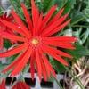 ちょっとピンボケ、日本ガーベラ花が好きな人に悪い人はいないよ。