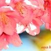 ただただ河津桜🌸春の一日