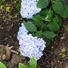 ガーデニングの断捨離(剪定)♪四季咲きのアジサイ、霧島の恵に期待しています!!
