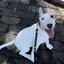 【子犬の躾】うちにきて49日目 ~ピィ子の育児日記(その7)~【強化項目:トイレ/伏せ】